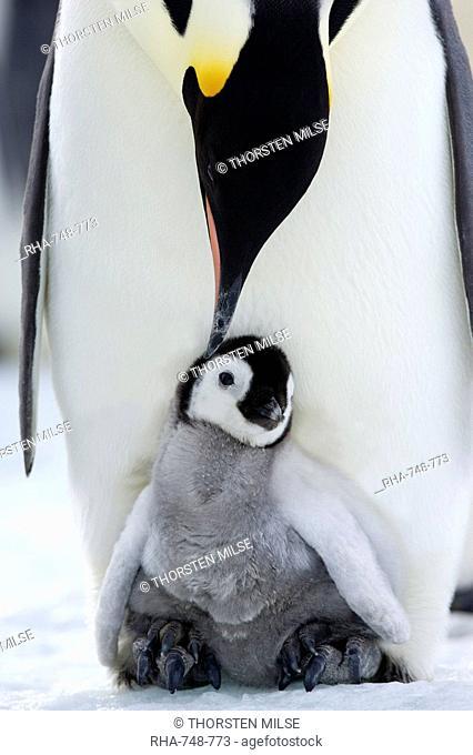Emperor penguin Aptenodytes forsteri and chick, Snow Hill Island, Weddell Sea, Antarctica, Polar Regions