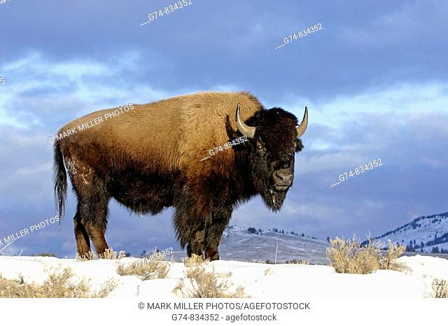 A bison in Yellowstone National Park
