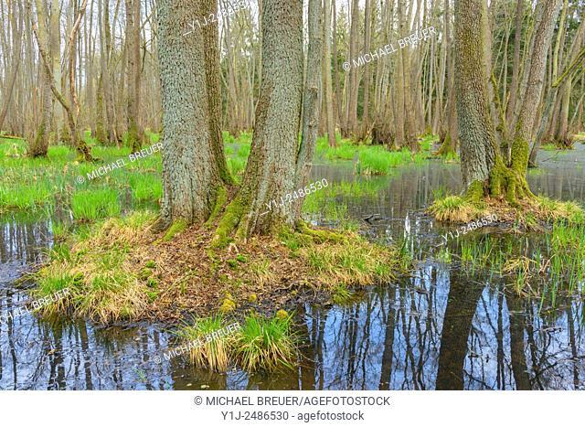 Black Alders (Alnus glutinosa) in Wetland, Early Spring, Hesse, Germany, Europe