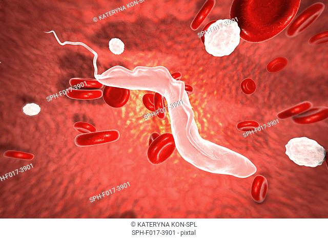 Sleeping sickness. Computer illustration of a trypanosome (Trypanosoma brucei) moving past human red blood cells in the blood