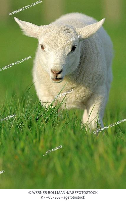 Domestic Sheep (Ovis aries), lamb. Mainland, Orkney Islands, Scotland