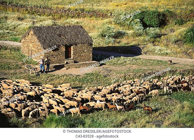 Flock, Monfragüe National Park. Caceres province, Extremadura, Spain