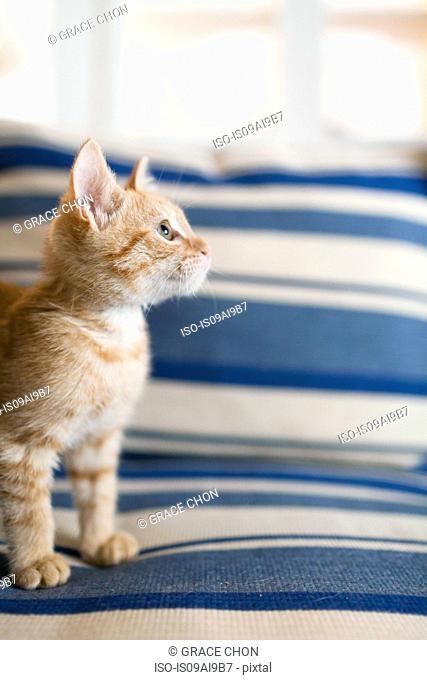 Orange tabby kitten sitting on sofa