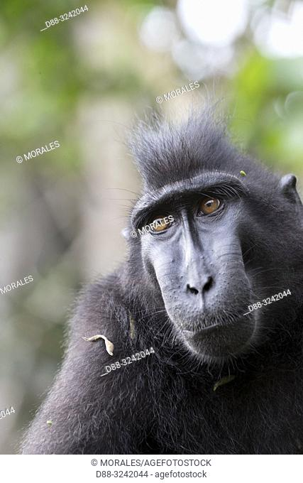 Asia, Indonesia, Celebes, Sulawesi, Tangkoko National Park, Celebes crested macaque or crested black macaque, Sulawesi crested macaque