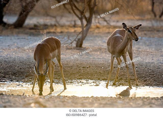 A female and young male Impala (Aepyceros melampus), drinking at waterhole at sunrise, Kalahari, Botswana, Africa