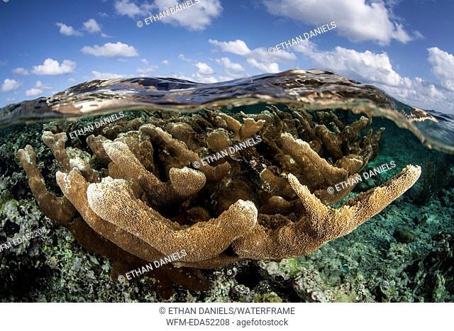 Elkhorn Coral, Acropora palmata, Turneffe Atoll, Caribbean, Belize