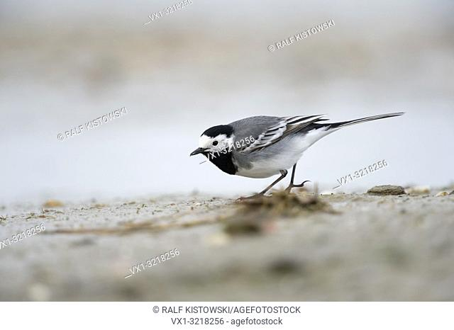 Pied Wagtail / Bachstelze ( Motacilla alba ) searching for food on a mudflat, in wadden sea, low point of view