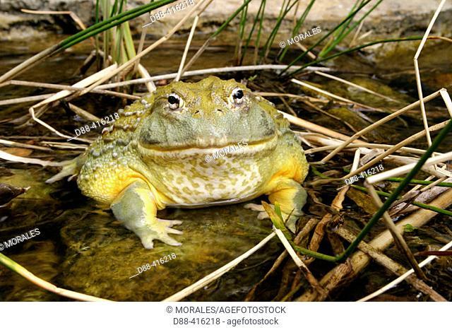African Bullfrog (Pyxicephalus adspersus). South Africa