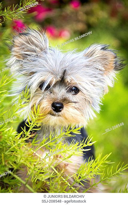 Teacup Yorkshire Terrier, Portrait of adult bitch in vegetation. Germany