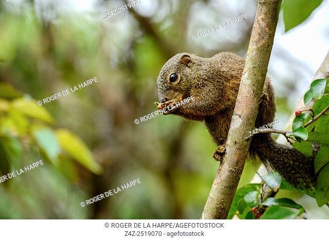 Red-legged Sun Squirrel (Heliosciurus rufobrachium). Odzala-Kokoua National Park. Cuvette-Ouest Region. Republic of the Congo