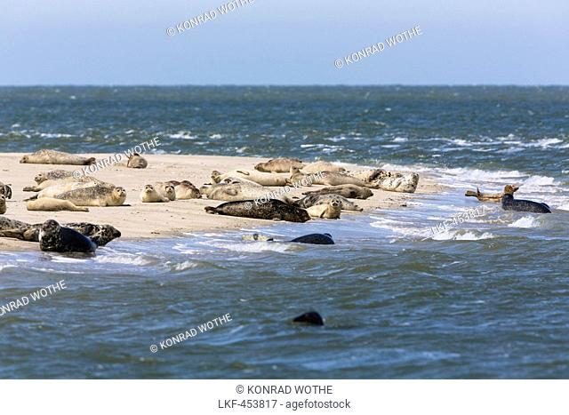 Common Seals and Grey Seals resting on mud-flats, Phoca vitulina, Halichoerus grypus, National Park, Unesco World Heritage Site, Eastfriesian Islands, North Sea