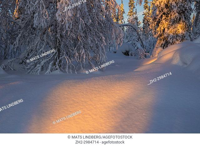 Warm light shining in cold winter forest at sunset with plenty of snow on the spruce trees, Gällivare, Swedish Lapland, Sweden
