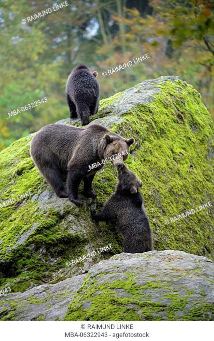Brown Bear, Ursus arctos, Female with cubs, Bavaria, Germany