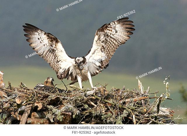 Osprey Pandion haliaetus adult female alighting at nest  Northern Scotland, UK  July 2008