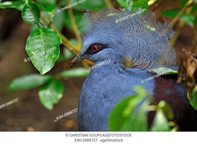 Victoria crowned pigeon (Goura victoria), Rainforest Pyramid, Moody Gardens, Galveston island, Gulf of Mexico, Texas, United States of America, North America
