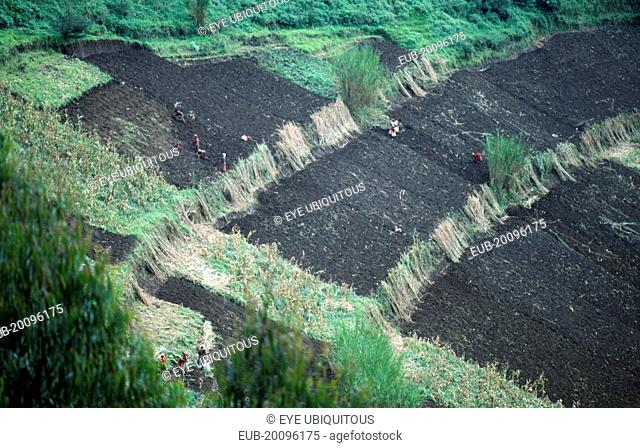 Planting potatoes on hillside cleared for growing crops and divided into plots by strips of Elephant Grass Pennisetum Purpureum to check soil erosion
