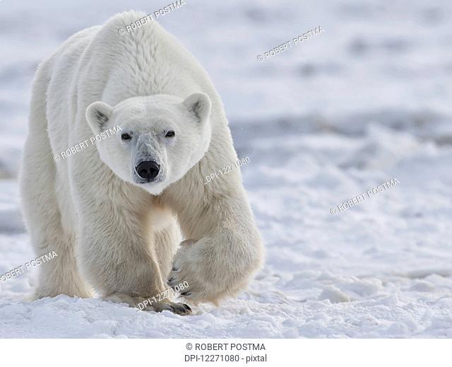 Polar bear (ursus maritimus) walking through the snow and ice of Hudson Bay; Manitoba, Canada