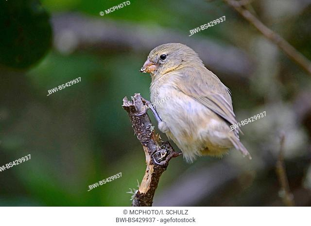 Small insectivorous tree finch, Small tree finch (Camarhynchus parvulus), sitting on a branch, Ecuador, Galapagos Islands, Isabela