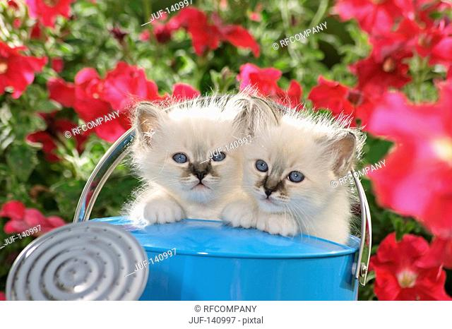 Sacred cat of Burma - two kittens in watering can
