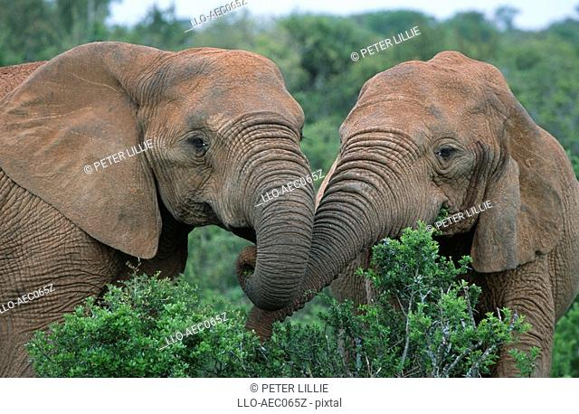 Close-up of African Elephant Loxodonta africana Cows Feeding on Lush Green Leaves  Addo Elephant National Park, Eastern Cape Province, South Africa