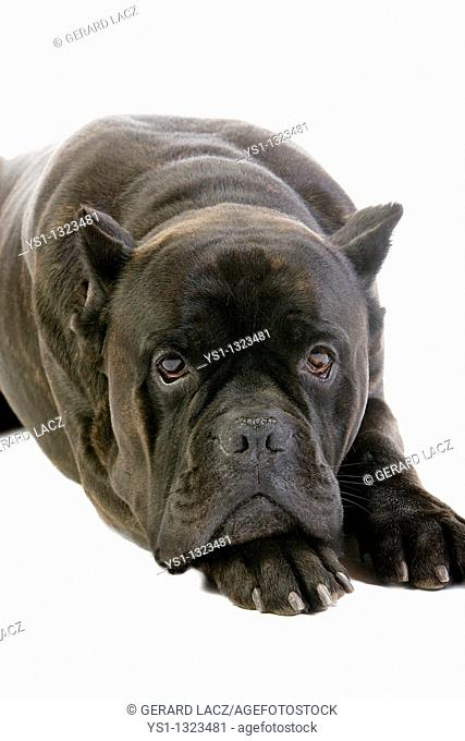 CANE CORSO, A DOG BREED FROM ITALY, ADULT LAYING DOWN AGAINST WHITE BACKGROUND OLD STANDARD BREED WITH CUT EARS