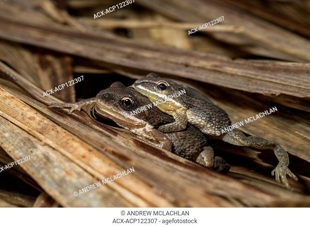 Chorus Frogs (Pseudacris triseriata) in amplexus, Cookstown, Ontario, Canada
