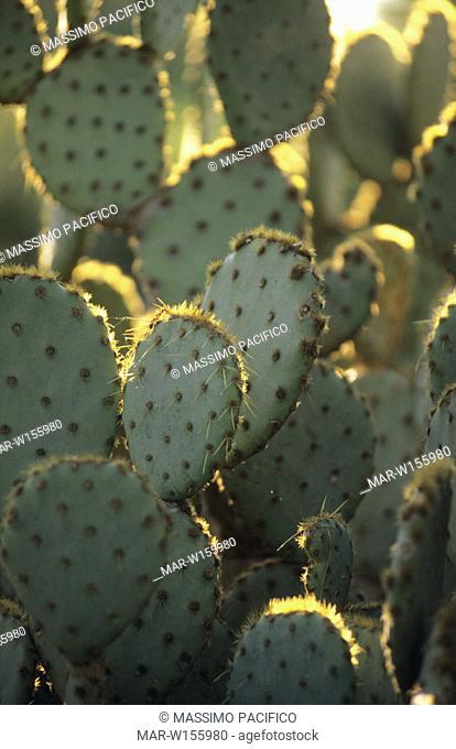 europe, italy, sicily, lentini, cactus