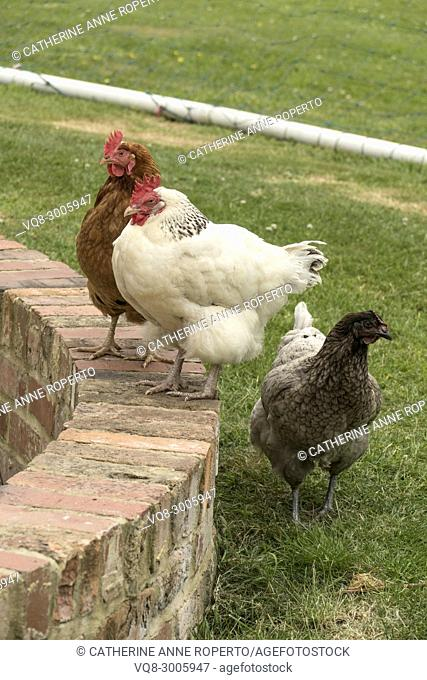 Rare breed hens, Light Sussex, Buff Orpington and Blue Orpington, on the village green in Frampton on Severn, the Cotswolds, England