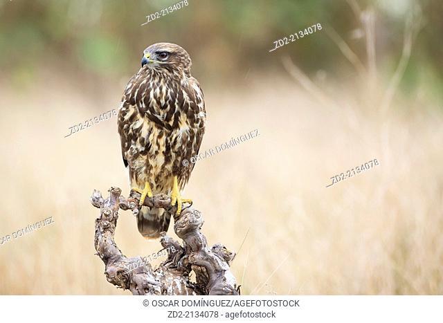 Eurasian Buzzard (Buteo buteo) perched on branch. Albufera Natural Park. Valencia Community. Spain