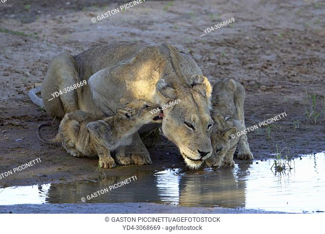 African lion (Panthera leo) -Female and cubs, in the waterhole, Kgalagadi Transfrontier Park, Kalahari desert, South Africa/Botswana