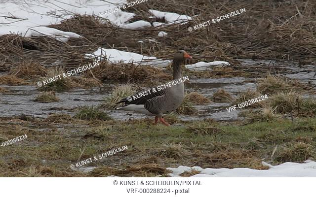 Spring in Sweden: Graylag geese (Anser anser) have arrived in their breeding area. A graylag goose is picking the first green grass growing on a meadow flooded...