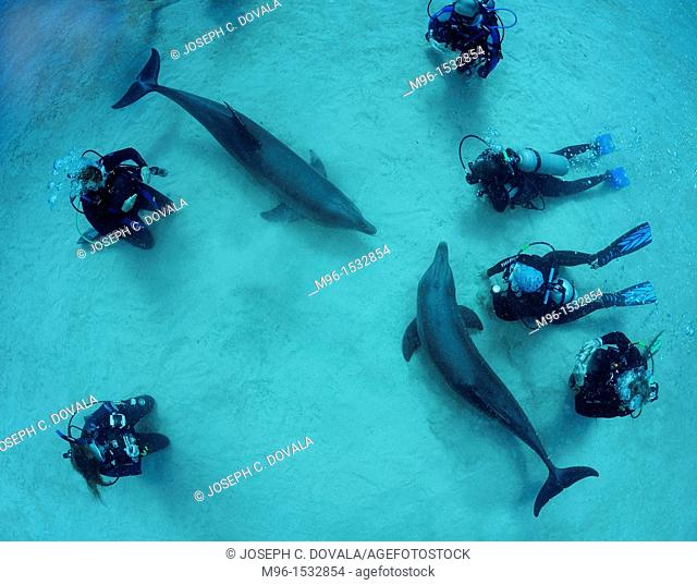 Dolphins playing with scuba divers, Roatan, Bay Islands, Honduras