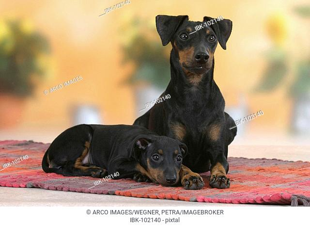 Manchester Terrier with puppy, 8 weeks