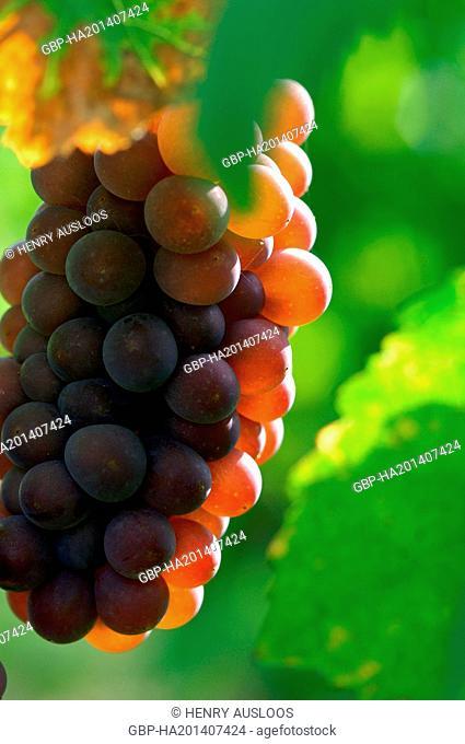 Red Grape (Vitis vinifera) - Alsace - France, Europe
