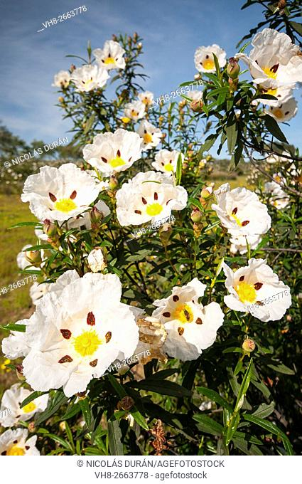 Gum rockrose (Cistus ladanifer) blossoming. Sierra de San Pedro. San Vicente de Alcántara. Badajoz province. Extremadura. Spain