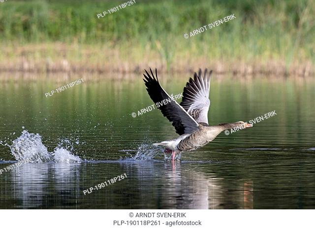 Greylag goose (Anser anser) taking off from water of lake in spring