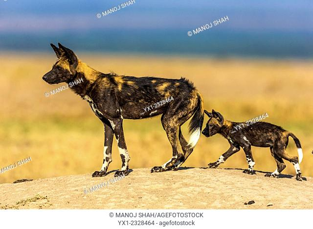African Wild dog with pup on a mound