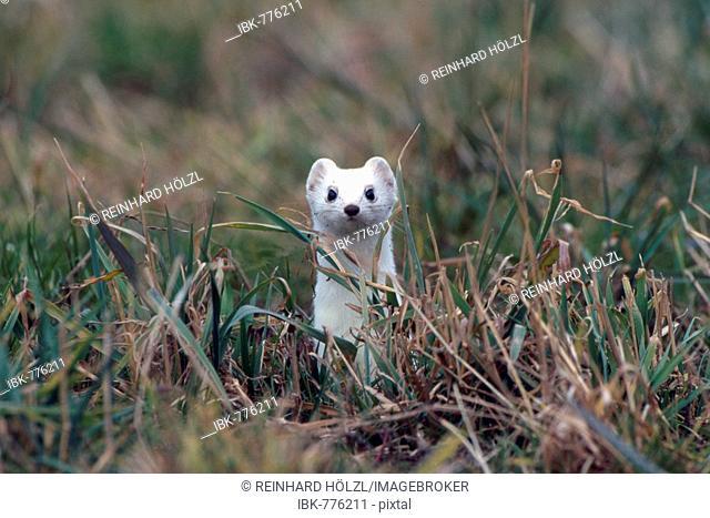 Stoat, Short-tailed Weasel or Ermine (Mustela erminea), Schwaz, Tyrol, Austria, Europe