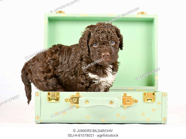 Lagotto Romagnolo. Puppy (5 weeks old) standing in a small suitcase. Studio picture against a white background. Germany