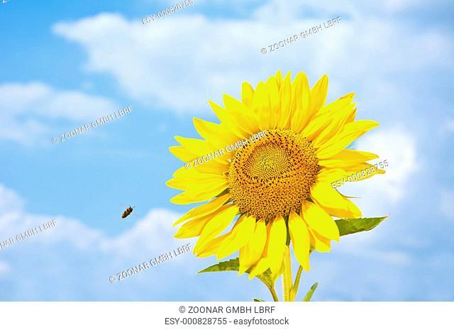 Sunflower and Honey Bee