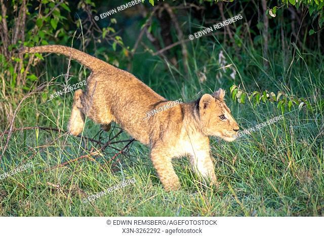 Male lion cub, (Panthera leo) in Maasai Mara National Park, Kenya, Africa