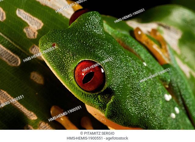 Costa Rica, Manuel Antonio National Park, Red-eyed tree frog (Agalychnis callidryas)