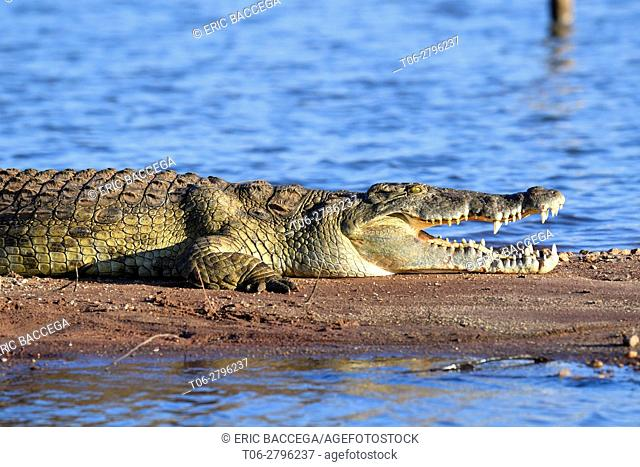 Nile crocodile (Crocodylus niloticus) resting on the banks of Lake Kariba with its jaw open. Matusadona National Park, Zimbabwe