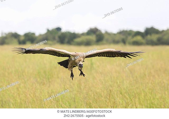 White-backed vulture flying over the savanna in Masai mara, Kenya, Africa