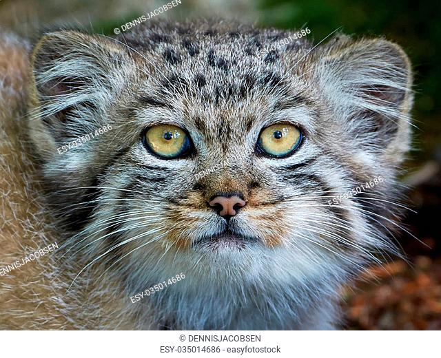 Closeup portrait of a juvenile Pallas's cat from the front with eye contact