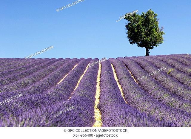 Lavender field with a tree, Plateau de Valensole, Provence, France