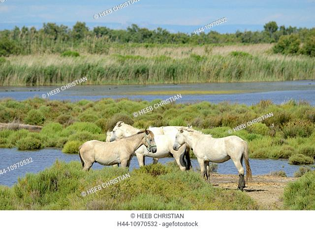 Europe, France, Languedoc- Roussillon, Camargue, horses, wetland, wildlife, animal, white horses