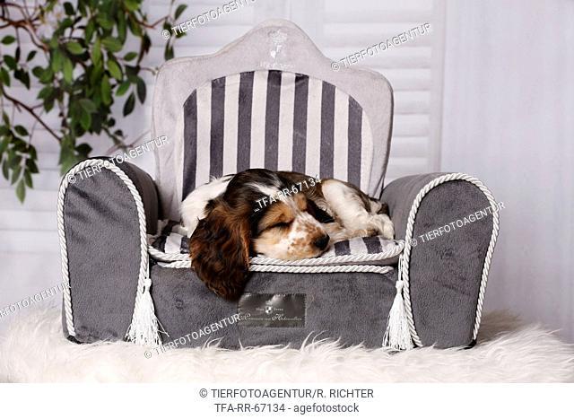 sleeping English Cocker Spaniel Puppy