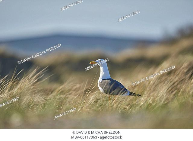 yellow-legged gull, Larus michahellis, at the side, fly, meadow, Heligoland