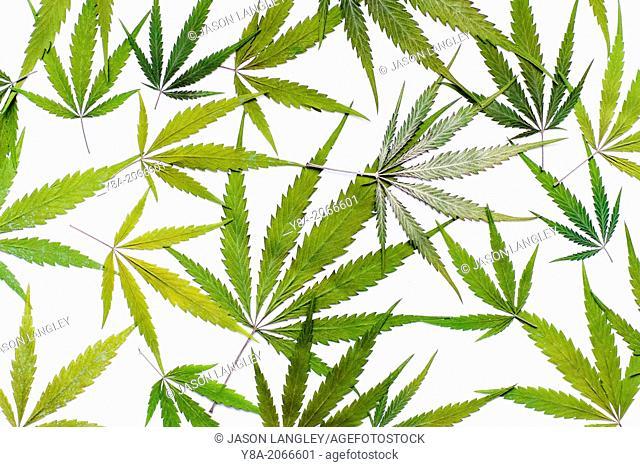 Marijauan (Cannabis sativa) leaves on white